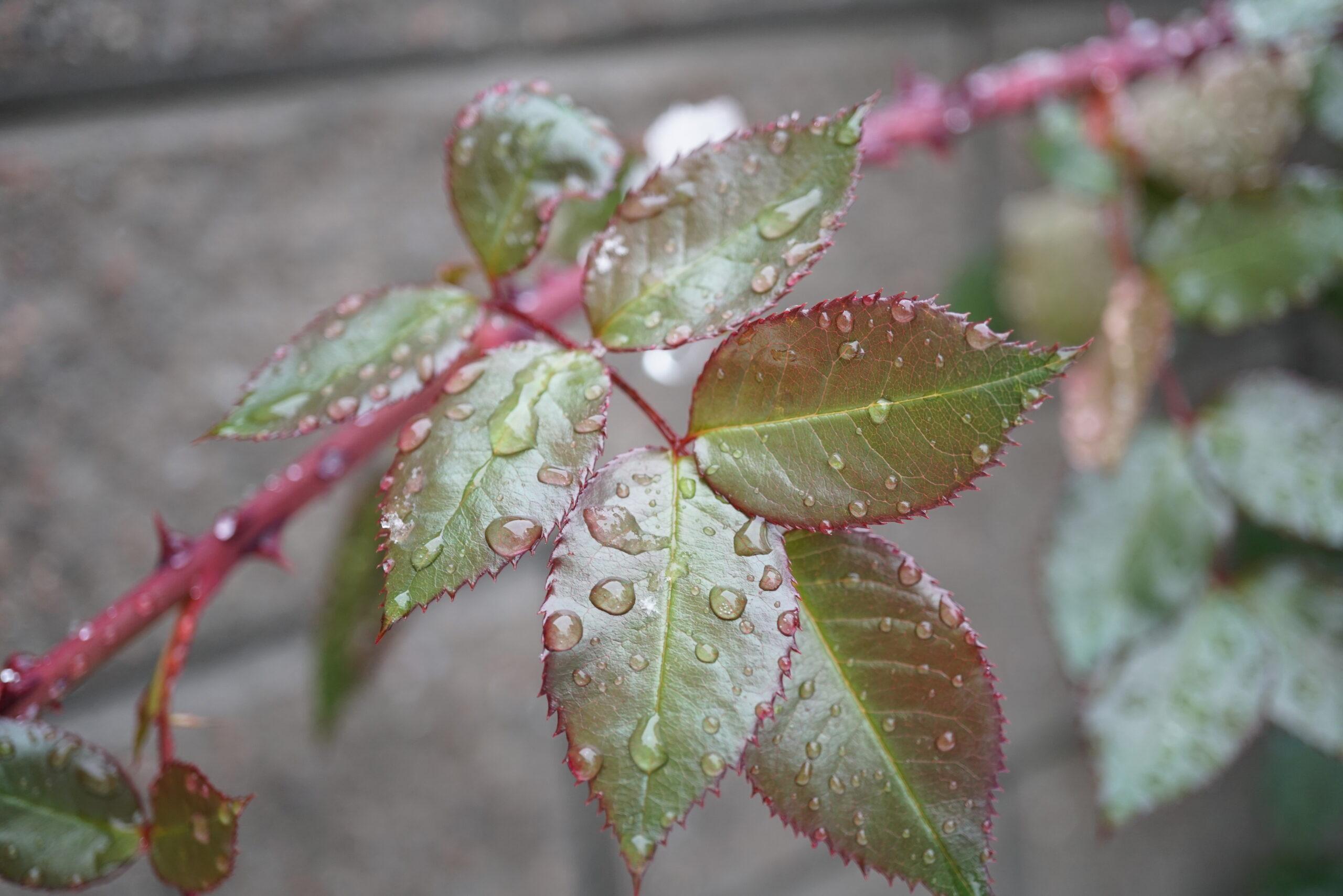 Water on Rose Leaf