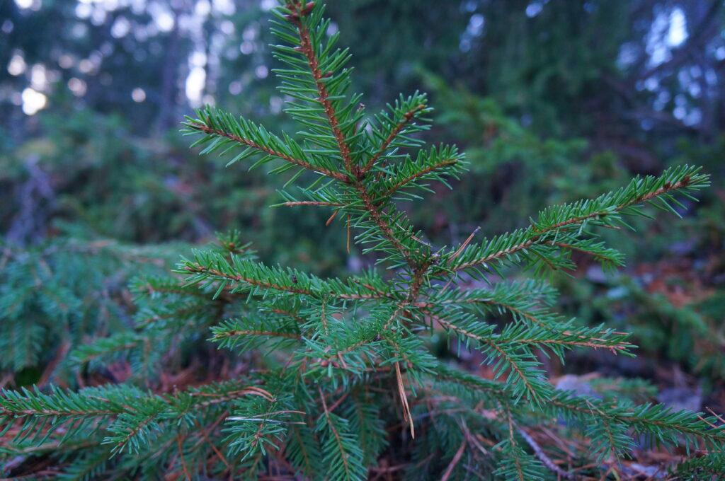 Gloomy Pine Tree