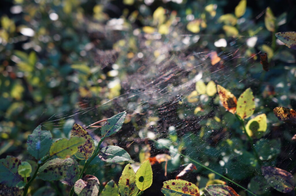 Spider Web and Blueberry Plant