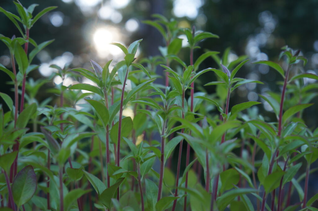 Clarkia amoena