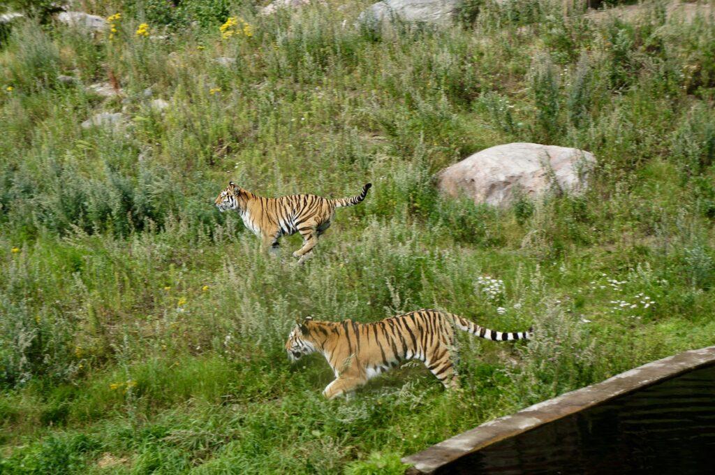 Running Tigers Kålmården